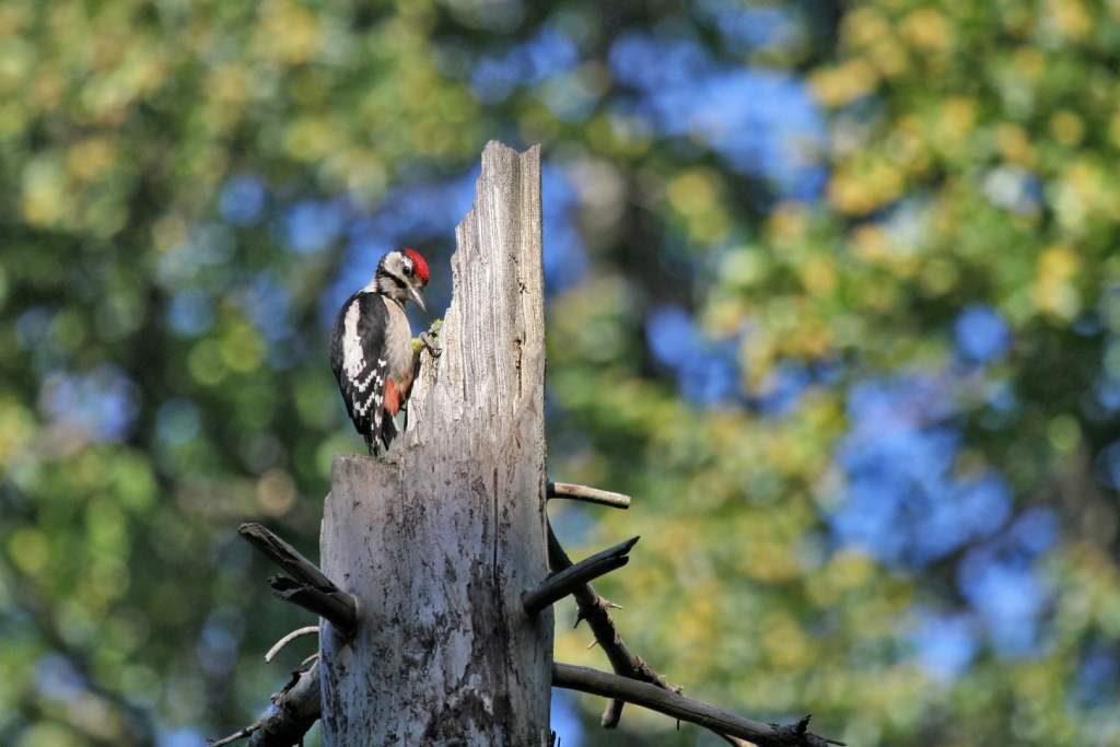 Dzięcioł przy budce lęgowej dla ptaków
