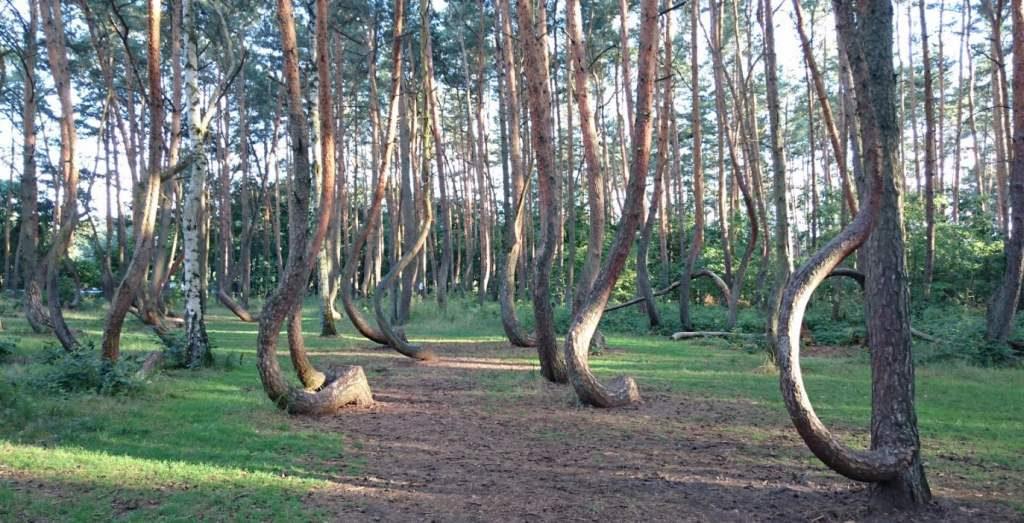 Krzywy las pod Gryfinem siedlisko ptaków