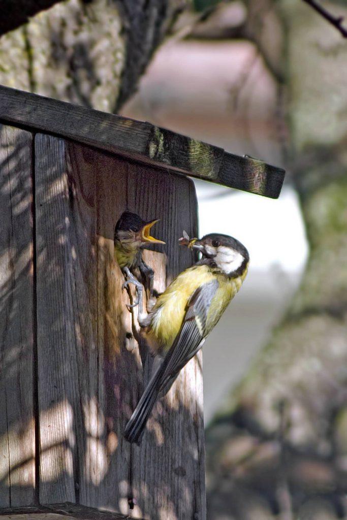 Sikorka w budce lęgowej karmiona przez ptaki